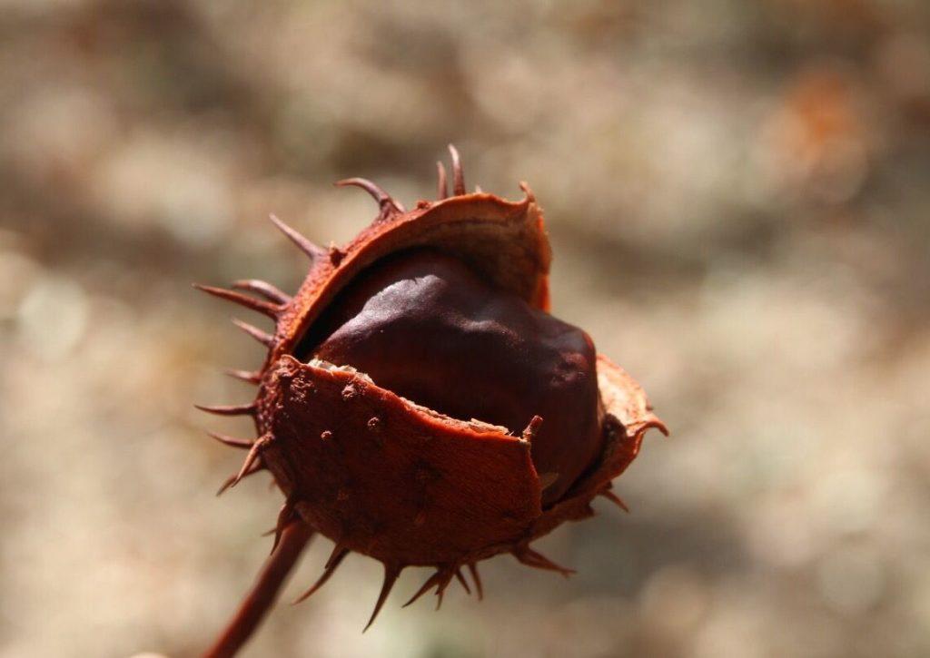 diez curiosidades sobre castañas