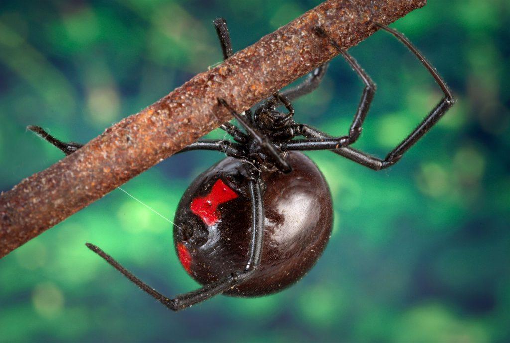 picadura de araña