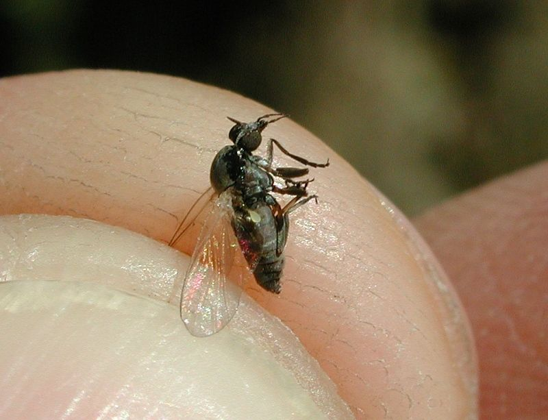 mosca negra repelente